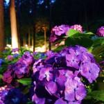 京都で有名な紫陽花の名所「三室戸寺・あじさい園」のライトアップ