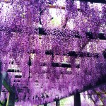 鳥羽の藤棚、京都市上下水道局が一般公開