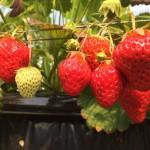 滋賀県のいちご狩り「まさみ農園」はイチゴ食べ放題!