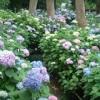 京都で有名な紫陽花苑の名所!墨染にある藤森神社